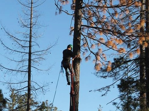 Sonora Lions in California invited neighboring service organizations to help in the removal of dead and dying trees that posed a danger to their community.